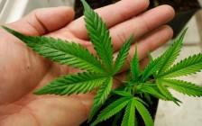 加拿大大麻法治化已成定局 如何保障未成年人