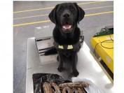 加拿大禁猪肉制品入境 违者罚款上千元