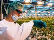 大麻种植课程超级抢手 北美首位大麻博士下月毕业