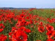 加拿大Remembrance Day 国殇纪念日