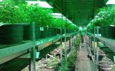 为什么大麻在加拿大变得合法了?