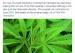 蒙特利尔麦吉尔大学的大麻专业马上开课了 学费高的吓人!