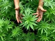 让孩子远离大麻 加拿大大麻店与学校到底距离多远?