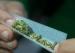 加拿大大麻合法化 留学生防毒防害须知
