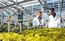 明年开始,安省尼亚加拉学院要开大麻生产课程了!