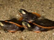 滑铁卢大学华裔学生走私美国乌龟 恐被判入狱10年